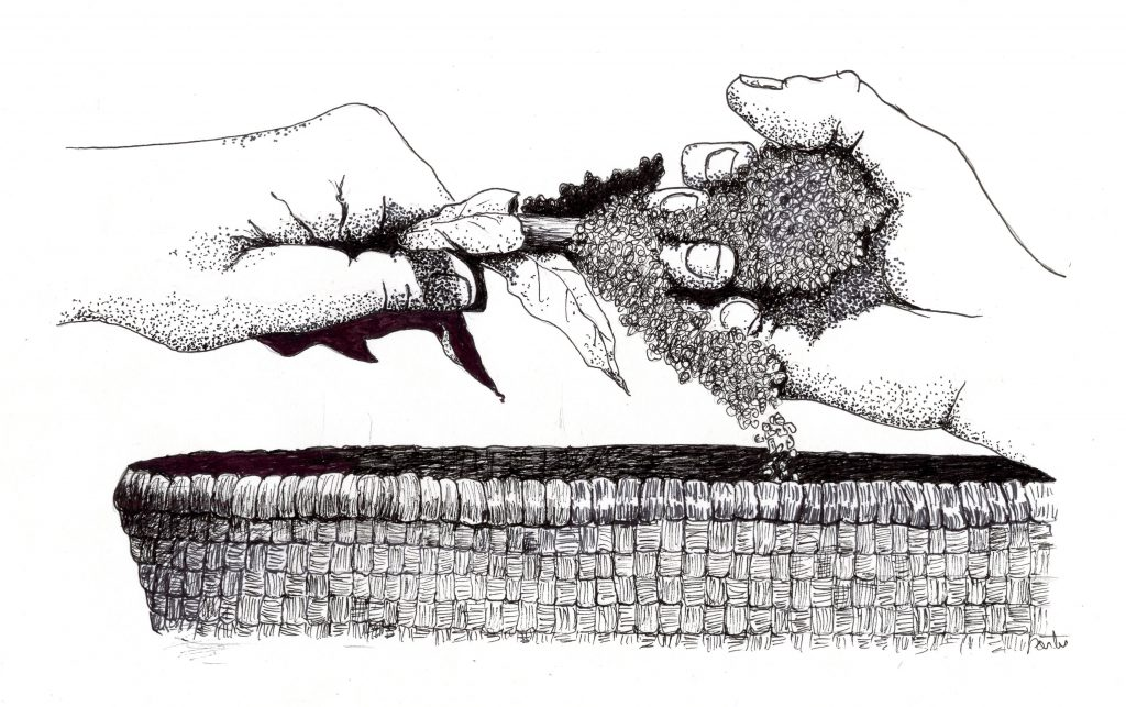Harvesting wild edible seed was an important fall activity for Archaic foragers. Drawing by Larry Porter.