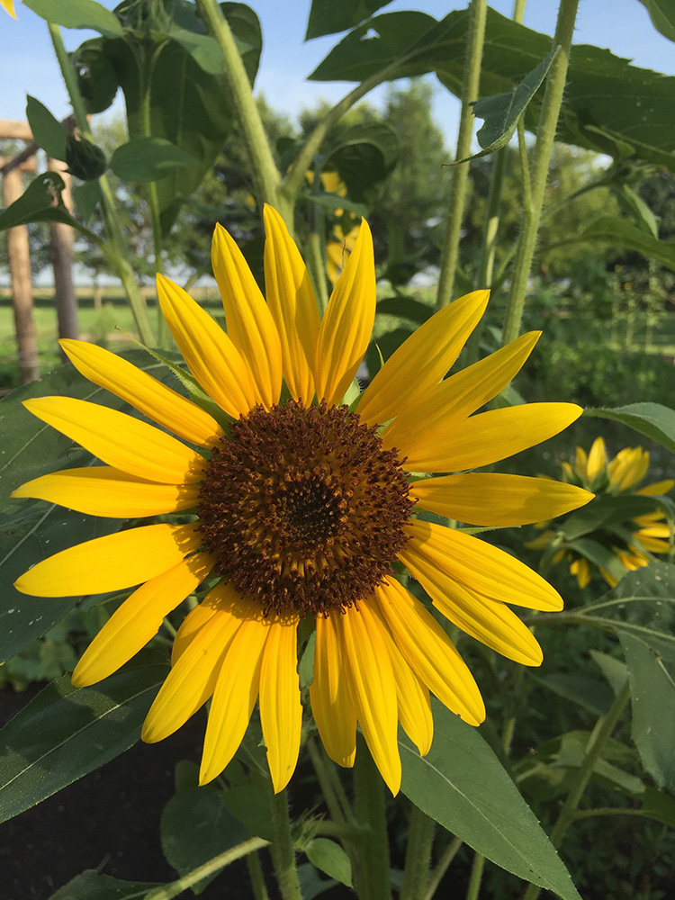 Sunflower blossom (Helianthus annuus) Plum Bayou Garden, June 2015