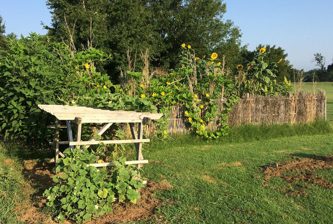 Parkin's 2017 Mississippian Gardens contained sunchokes, sunflowers, corn, squash, beans, and amaranth.ourds.