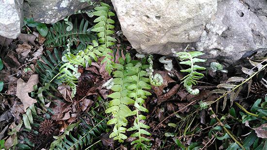 Fiddlehead ferns growing in the ARAS-WRI native gardens on Petit Jean Mountain.