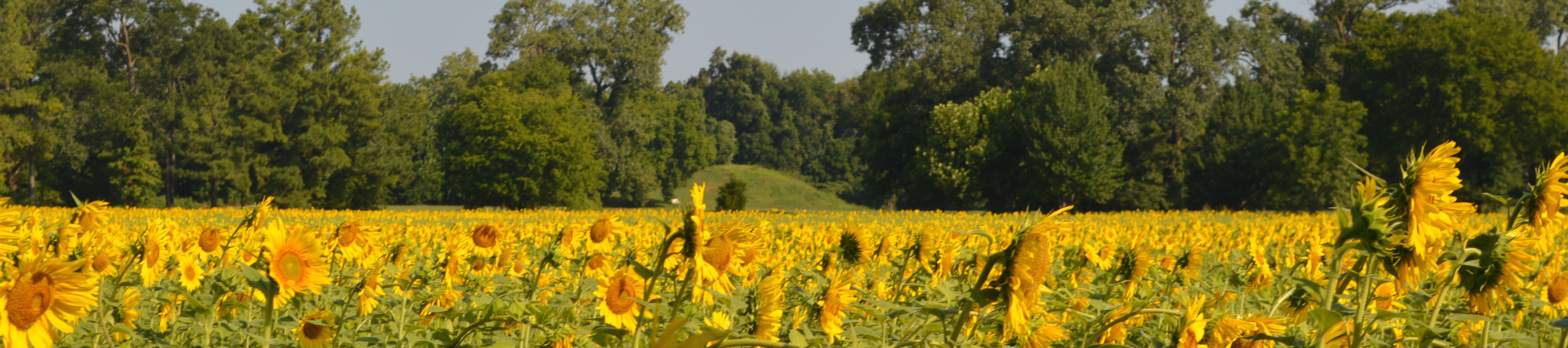 Sunflowers growing in front of the mound at Parkin Archeological State Park. Photograph by Jodi A. Barnes, 2016.