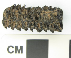 Corn cob fragment preserved by charring.