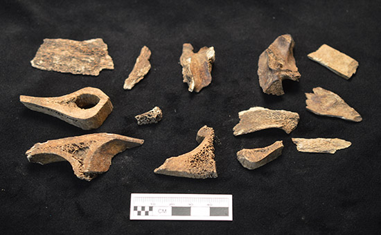 Figure 5. Animal bones recovered from the kitchen excavations.