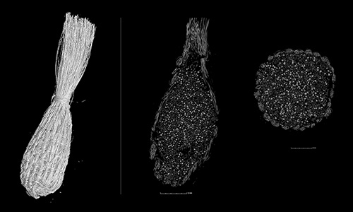 MicroCT scan of a replica seed bag. The interior images show Chenopodium seeds and woven rattlesnake master bag structure.