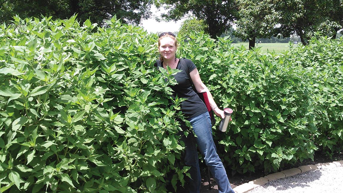 Figure 2. Dr. Horton measuring the growth of the marsh elder (Iva annua) in the Plum Bayou Garden.